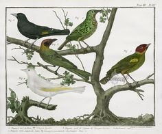 Tangra Gyrola from F. N. Martinet & A. B. Brisson Bird Prints