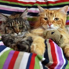 """From @themainecoonlife: """"Can we have a bedtime story, please?"""" #catsofinstagram #followback #cute #instafollow"""