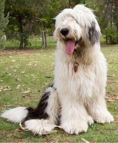 The Old English Sheepdog (OES) originated in 19th century England. They were used to drive herds of sheep to different grazing areas and as livestock herders and guardians. It is thought that OESs were descended from the Scotch Bearded Collie and the Russian Owtchar. Looking to find out more about 'The Shaggy Dog'? Click here!