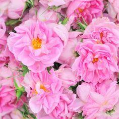 Damask Roses Plants for Sale : Rosa Damascena for Essential Otto Oil & Jam : Wholesale Bulgarian Rose : Kazanlak 30 Mai, Beautiful Rose Flowers, Beautiful Things, Damask Rose, Little Rose, Planting Roses, Exotic Beauties, Rose Photography, Plant Sale