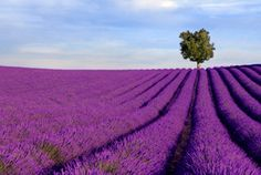 Image shows a rich lavender field in Provence, France, with a lone tree in the background. Free art print of Rich lavender field with a lone tree. Lavender Fields France, French Lavender Fields, Provence Lavender, Lavender Oil, Lavender Seeds, French Lilac, Lavender Flowers, Purple Flowers, Flora Und Fauna