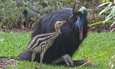 Southern Cassowary (Casuarius casuarius) is.a model father Animals And Pets, Baby Animals, Cute Animals, Cassowary Bird, Camelus, Photo Animaliere, Ostriches, Most Beautiful Birds, Flightless Bird