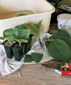 Propogating shrubs from cuttings. Last page has a list of shrubs you can grow from cuttings (lilacs, hydrangeas, etc). From Fine Gardening.