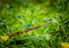 """""""Flight Of The Dragons""""  A group of dragonflies on the bank of the San Diego River. For a better view click on the photo. Image created by Paul W. Koester Photography."""