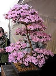 20PCS Cherry Bonsai Bonsai Tree Japanese New Blossoms Sakura