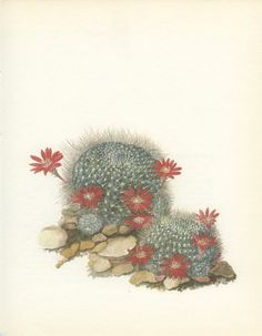 Scarlet Crown Cactus Vintage Print 8 x 10 by MarcadeVintagePrints, €10.40