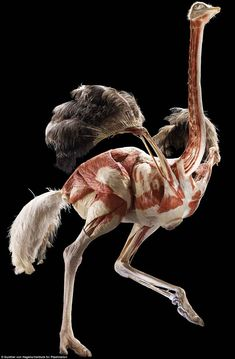 An inside-out ostrich forms part of the exhibition at the Natural History Museum