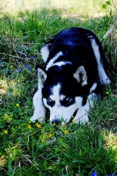 Maya Maya, Husky, Dogs, Animals, Animales, Animaux, Pet Dogs, Doggies, Animal