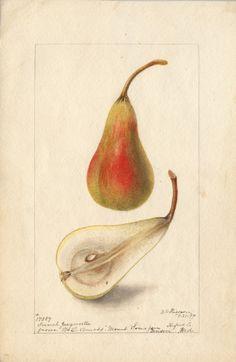 french.jargonelle.jpg (634×975) Artist: Deborah G. Passmore. From Wm. L. Amoss, Mount Toma farm, Benson (Hanford Co.), Maryland, 7/21/1899