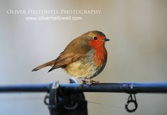English Robin on a fishing pole; photo by Oliver Hellowell