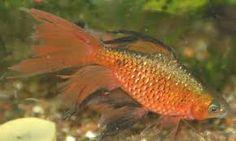 Aquarium fish barbs - Long fin Rosy barb