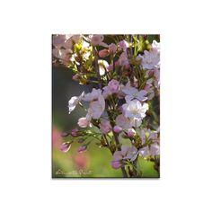 Blumenbild Rosa Kirschblüten
