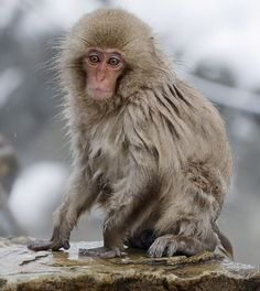Snow monkeys: Japanese macaques bathe in hot springs