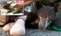 Cinder the bear cub recuperating after suffering burns to his paws #DailyMail