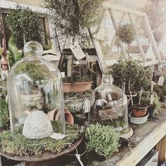 I have cloches that I need to use instead of store away! I have cloches that I need to use instead of store away! Container Plants, Container Gardening, Deco Boheme Chic, Vibeke Design, The Bell Jar, Bell Jars, Greenhouse Plans, Miniature Greenhouse, Greenhouse Wedding