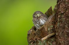 Eurasian pygmy owl is the smallest owl in Europe. These owls are a dark reddish to greyish-brown, with spotted sides and half of a white ring around the back of their neck. Milan Zygmunt  Thanks for visit :-)