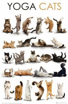 Yoga Cats! ♡... Re-pinned by StoneArtUSA.com ~ affordable custom pet memorials for everyone