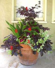 2012 Container Design Challenge Results: Fantastic Foliage   Fine Gardening Carolyn Ordonez Menlo Park, California  1. 'Bloodgood' Japanese maple (Acer palmatum 'Bloodgood', Zones 5–9) 2. Desana® Maple sweet potato vine (Ipomoea batatas 'Desana Maple', Zone 11) 3. 'Licorice Splash' licorice plant (Helichrysum petiolare 'Licorice Splash', Zones 10–11) 4. Kong™ Red coleus (Solenostemon scutellarioides 'Kong Red', Zones 12–13) 5. Foxtail fern (Asparagus densiflorus 'Myersii', Zones 9–11)