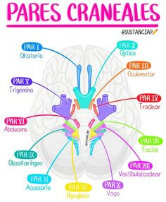 Brain Anatomy, Medical Anatomy, Anatomy And Physiology, Medicine Notes, Medicine Student, Nursing School Tips, Nursing Notes, Ob Nursing, Nursing Schools