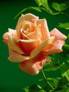 Красивые Цветы, Оранжевые Цветы, Желтые Розы, Гибридные Чайные Розы, Желтые Цветы, Розовые Деревья, Красивые Розы, Окрашенные Цветы, Белые Цветы