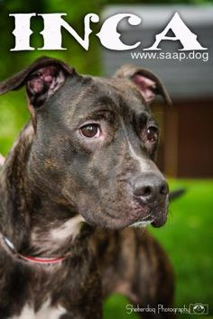 American Pit Bull Terrier dog for Adoption in Newport, KY. ADN-724372 on PuppyFinder.com Gender: Female. Age: Adult