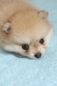 Cream Pom Puppy