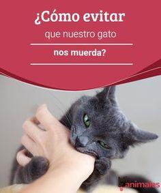 ¿Cómo evitar que nuestro gato nos muerda? - Mis animales  ¿Cómo evitar que nuestro gato nos muerda? encuentra en este artículo algunos consejos para evitar ese comportamiento.