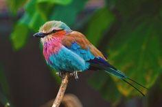 Bird of Paradise. London Zoo.