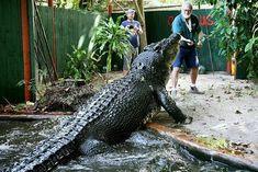 Nile Crocodile, Saltwater Crocodile, Cartoon Eyes, Guinness Book, World 2020, Palawan, Tropical Fish, Predator, Deities