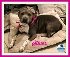 ●8•13•17 SL● ■HOUSTON■ ☆☆SINCE 4•20•17☆☆Silver Dog • American Staffordshire Terrier Mix • Adult • Female • Large Barrio Dogs of Houston Houston, TX