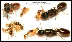 Tetramorium semilaeve :: Gyne et Ouvrière Ant Species, X Project, Fauna, Farming, Creepy, Photos, Nature, Plants, Animals