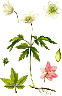 rycina-botaniczna-duc5bca.jpg (323×499)