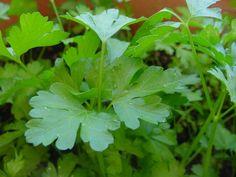 Cómo sembrar semillas de Perejil. ¡Un condimento que no puede faltar en muchas recetas! :)