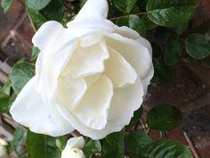 May 2014 'happy birthday' rose