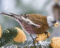 Gray-crowned Rosy-Finch, adult male