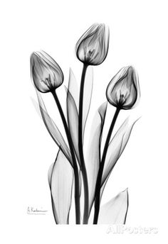 Tall Early Tulips N Black and White Print by Albert Koetsier at AllPosters.com