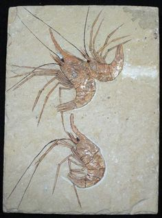 Fossil shrimp  | In #China? Try www.importedFun.com for award winning #kid's #science |