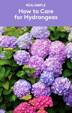 How to Care for Hydrangeas | Expert tips, whether they're in a vase, potted, or in the ground.