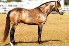 Morgan horse. The Rainbow Morgan Horse Association, begun in 1990, which works with the AMHA to develop and promote unusually-colored Morgans, such as those with the silver dapple and cream genes.