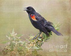 Red Winged Black Bird by Tessa Fairey