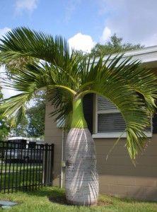 Bottle Palm - Hyophorbe Lagenicaulis