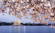 Sakura / Cherry blossoms, Washinton DC