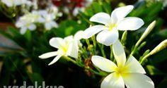 The Lovely White Flowers of the Frangipani or Plumeria Obtusa   Fottams!