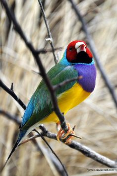 Lady Gouldian Finch from Australia