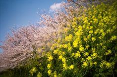LOMO LC-A - 春色 -  春  桜  菜の花  花  色  多重露光  スプリッツァー  - Camera Talk -