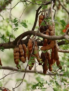tamarindo... fruit from Puerto Rico yummy!