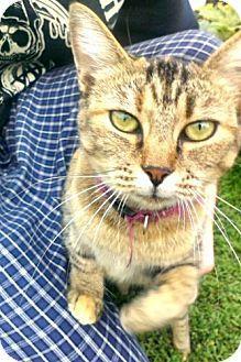 Williston Park, NY - Domestic Mediumhair. Meet Sweetie, a cat for adoption. http://www.adoptapet.com/pet/11637145-williston-park-new-york-cat