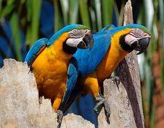 papegaai liefhebbers dating het dateren van een verbod