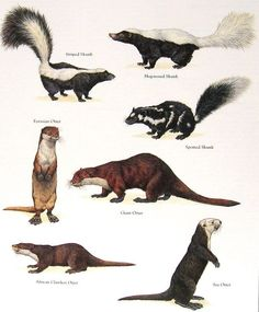 Skunks and Otters Vintage 1984 Animals Book by mysunshinevintage Animals Of The World, Animals And Pets, Cute Animals, Reptiles And Amphibians, Mammals, Animal Plates, Especie Animal, Wild Creatures, Animal Species