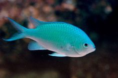 School of 3 Green Chromis will be used to cycle the tank and will be my starter fish.